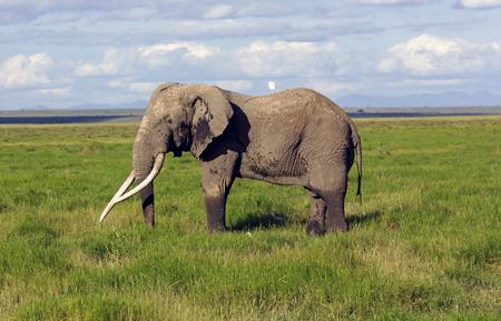 African bush elephant (Loxodonta africana) grazing in the meadows of the savanna in Tarangire National Park, Tanzania.