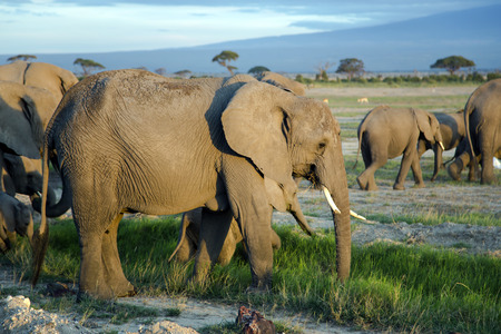 loxodonta: Big family of African bush elephant (Loxodonta africana) go to watering at sunset in Tarangire National Park, Tanzania.