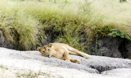 catlike: Lovely lioness resting on the warm stone in the savannah at a park Tarangire, Tanzania