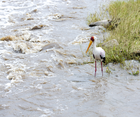 seething: Yellow-billed stork (Mycteria ibis) fishing in seething water of the river at Tarangire National Park, Tanzania.