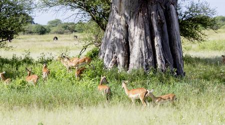 digitata: Herd of black-faced impala antelopes (Aepyceros melampus) in the tall grass savanna about African baobab tree (Adansonia digitata) at Tarangire National Park, Tanzania.