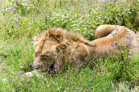 catlike: Young male lion resting on a meadow in the Ngorongoro Crater, national park Tanzania.