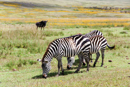 Zebra grazing in the flowering savannah at Ngorongoro Crater Conservation Area, Tanzania. East Africa Stock Photo