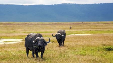 conservation grazing: African Buffalo, is a large African mammal, graze on lush meadows in Ngorongoro Conservation Area, Tanzania. East Africa Stock Photo