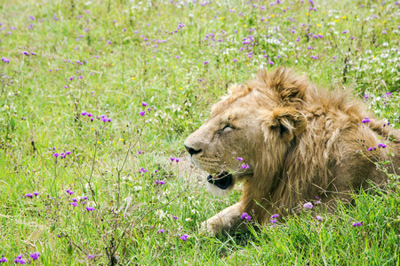 catlike: Young male lion resting on the grass in the savannah at Ngorongoro Crater, national park Tanzania. Stock Photo