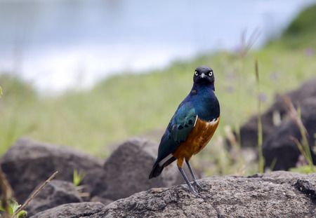 A Greater Blue-eared Starling are also called as Greater Blue-eared Glossy-Starling in Ngorongoro Crater Conservation Area, Tanzania. East Africa