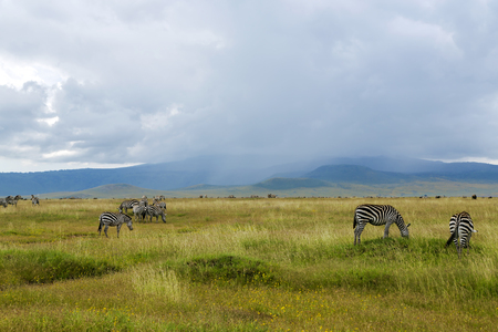 thundershower: Herds of zebra and blue wildebeest grazing in the savannah on a background rains at Ngorongoro Crater Conservation Area, Tanzania. East Africa