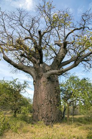 digitata: African Baobab Tree Adansonia digitata in Tarangire National park, Tanzania