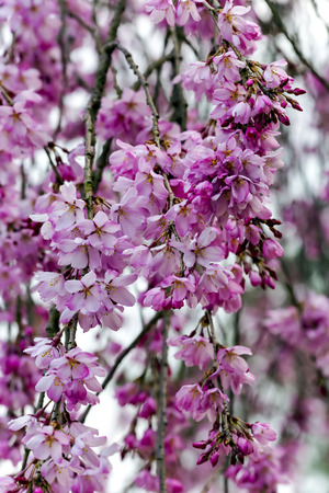 Branches of a pink blossoming cherry tree closeup in Iwakuni, Japan Stock Photo