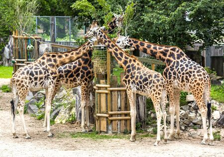 Four young giraffes eating hay in a Riga zoo, Latvia