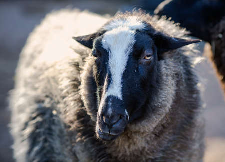 Portrait Black and white sheep looking in camera close up