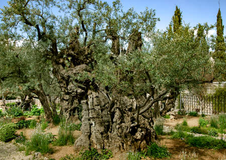 Old olive trees with in the Gethsemane Garden in Jerusalem, Israel. According to the four Gospels of the New Testament, Jesus underwent the agony in the garden and was arrested the night before his cr