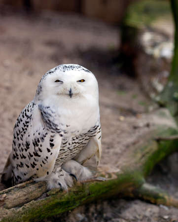 White snowy owl Bubo Scandiacus - beautiful arctic bird, vulnerable animal specie from Eurasia Banque d'images