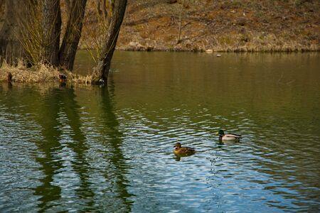 Duck breeding games on a city pond.