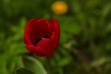 Unraveled tulip on a city lawn. Stok Fotoğraf