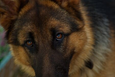 A six-month-old puppy of the East European Shepherd with a smart look.