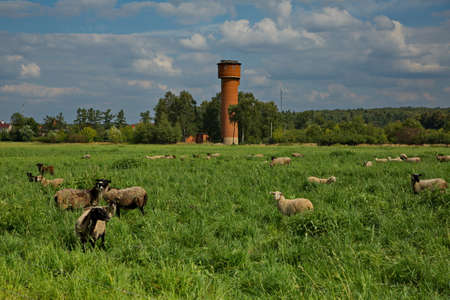 A flock of sheep on summer grazing in the Moscow region, Russia.