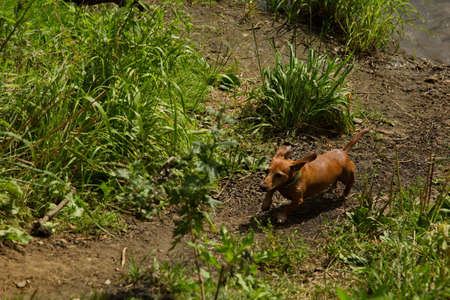 Red dachshund running after swimming. Stockfoto