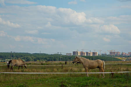 Horses on a summer pasture in the Moscow region, Russia. Stockfoto