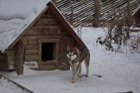 Sled dog husky breed on a leash in the kennel.