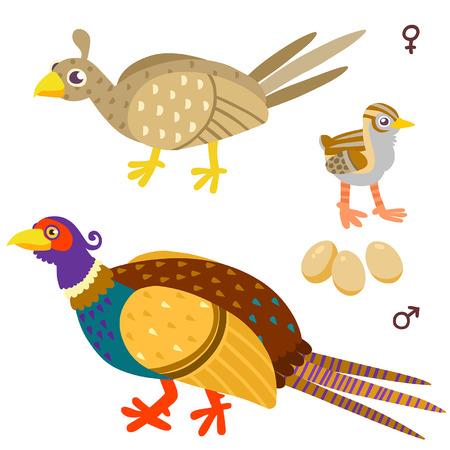 gamebird: cartoon pheasant family. Illustration of birds on white background