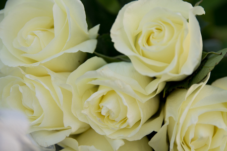 several white roses close-up on a green leaves background