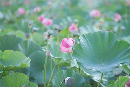lots of pink lotus bushes with green leaves in a pond