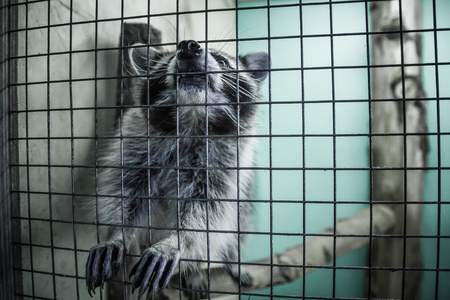 raccoon behind the bars in the zoo