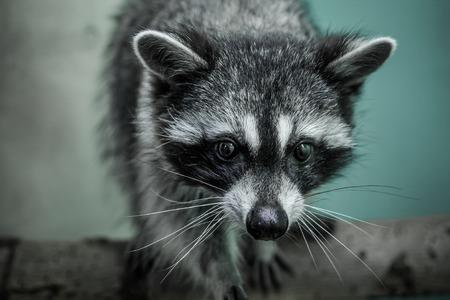 raccoon behind the bars in the zoo