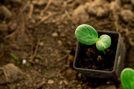 Cucumber seedlings, young sprouts growing in pots as a new life concept Imagens