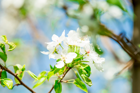 Close up of the pear tree flowers in spring Stock fotó