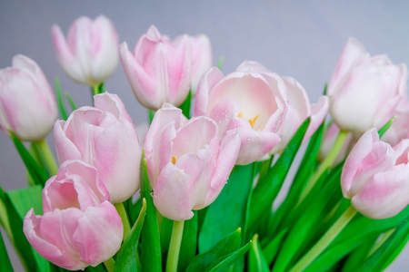 Pink tulips in pastel light pink and white tints at a blurry gray background, closeup. Stock Photo
