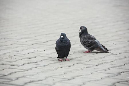 the gray and black calm dove pigeon goes along the pavement