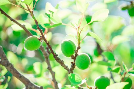 ripening green apricots on an apricot tree with green leaves lit with the sunlight on green background Banco de Imagens