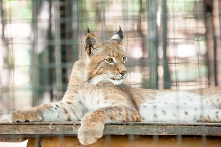 a Beautiful photo of graceful big cat Lynx a cage in the zoo Фото со стока
