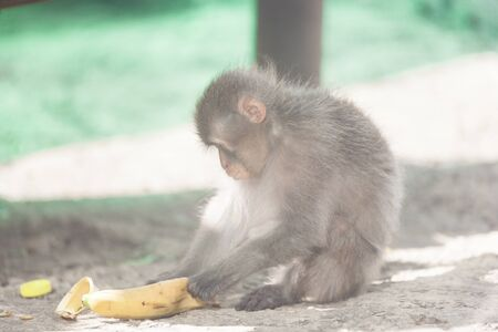 Native Japanese macaque Macaca fuscata known as the snow monkey, eating a banana in a park 版權商用圖片