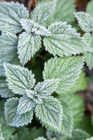 Erster Frost auf grünen Brennnessel-Minzblättern, Blick von oben