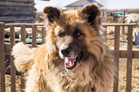 close up portrait of a fair haired big country dog laying on the roof of its doghouse with a wooden fence on the background