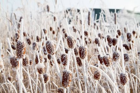 an abstract pattern background with frosted bulrush, corn dog in winter covered with snow on it