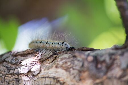 blue and black caterpillar on a pear tree among green leaves in summer