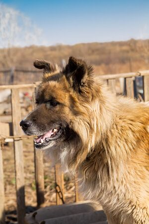 vertical close up portrait of a fair haired big country dog with a wooden fence on the background
