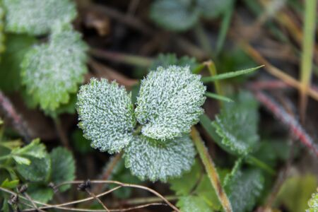 first frost on green nettlestrawberry leaves, a view rom above
