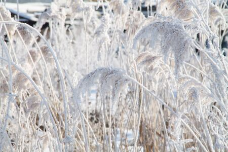 an abstract pattern background with frosted reeds and grass in winter covered with snow on it