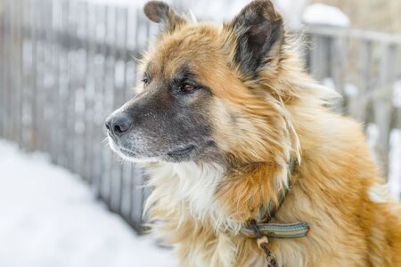 Close up head portrait of a big shaggy fair haired dog with a wooden fence on the background in winter Imagens