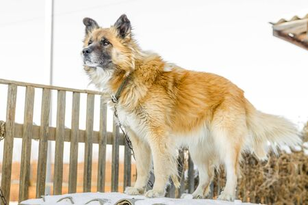 a portrait of a fair haired big country dog standing on the roof of its doghouse with a wooden fence on the background in winter