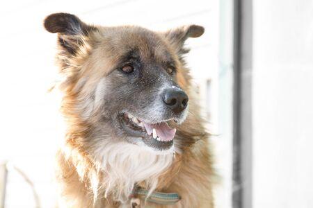 Close up head portrait of big shaggy fair haired dog 免版税图像