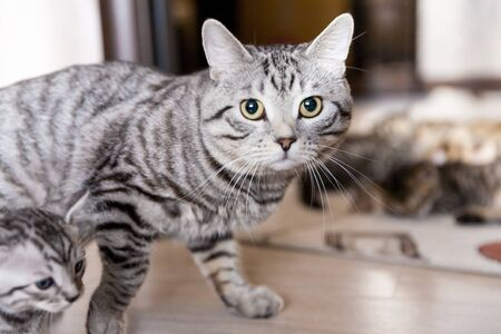 Gray Blue spotted tabby Bengal cat with its kitten in an interior