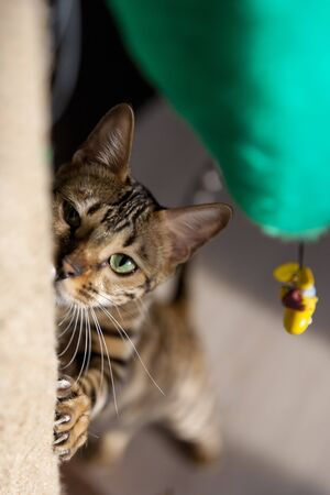 an adult brown striped Bengal cat climbing artificial tree claw point in a cosy room with modern interior lit with sunlight