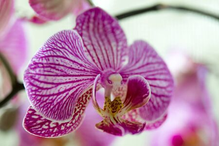 Close up of a beautiful blooming bright pink orchid flower. 免版税图像