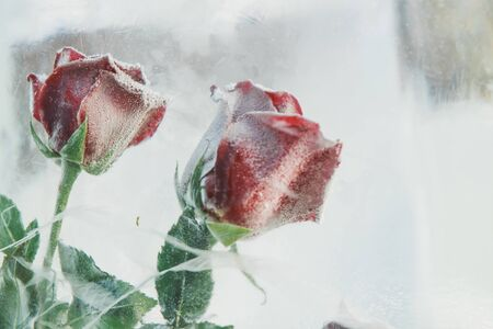 Frozen beautiful red rose flower in ice cube